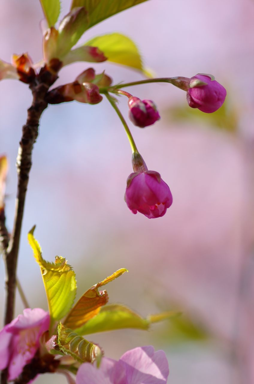 flower, growth, petal, fragility, nature, freshness, beauty in nature, plant, purple, close-up, outdoors, focus on foreground, no people, flower head, pink color, day, springtime, blooming, branch, tree
