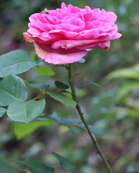 The last rose of summer Flower Freshness Fragility Petal Flower Head Stem Leaf Close-up Growth Beauty In Nature Pink Color Botany Bud Springtime Plant In Bloom Focus On Foreground Blossom Single Flower Nature First Eyeem Photo