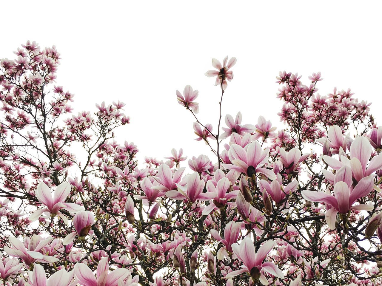 Beautiful stock photos of magnolie, flower, fragility, low angle view, growth