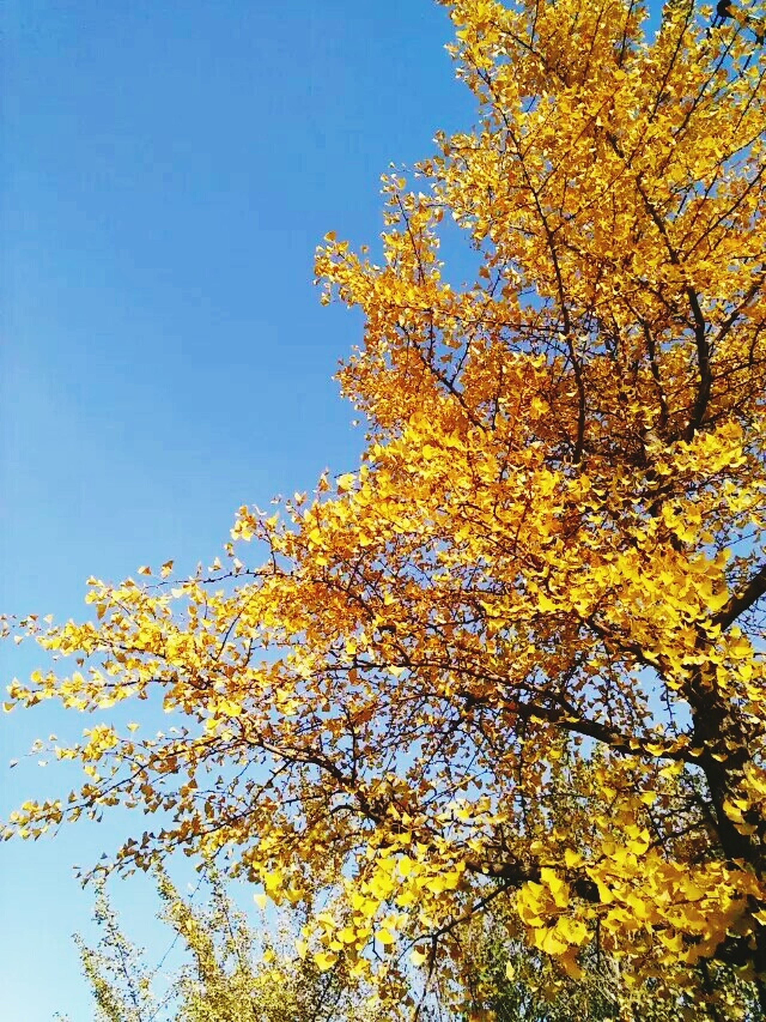 low angle view, tree, clear sky, season, autumn, change, blue, growth, beauty in nature, branch, yellow, high section, scenics, nature, day, tranquility, outdoors, vibrant color, tranquil scene, sky, tall - high, treetop, no people, majestic, natural condition, non-urban scene