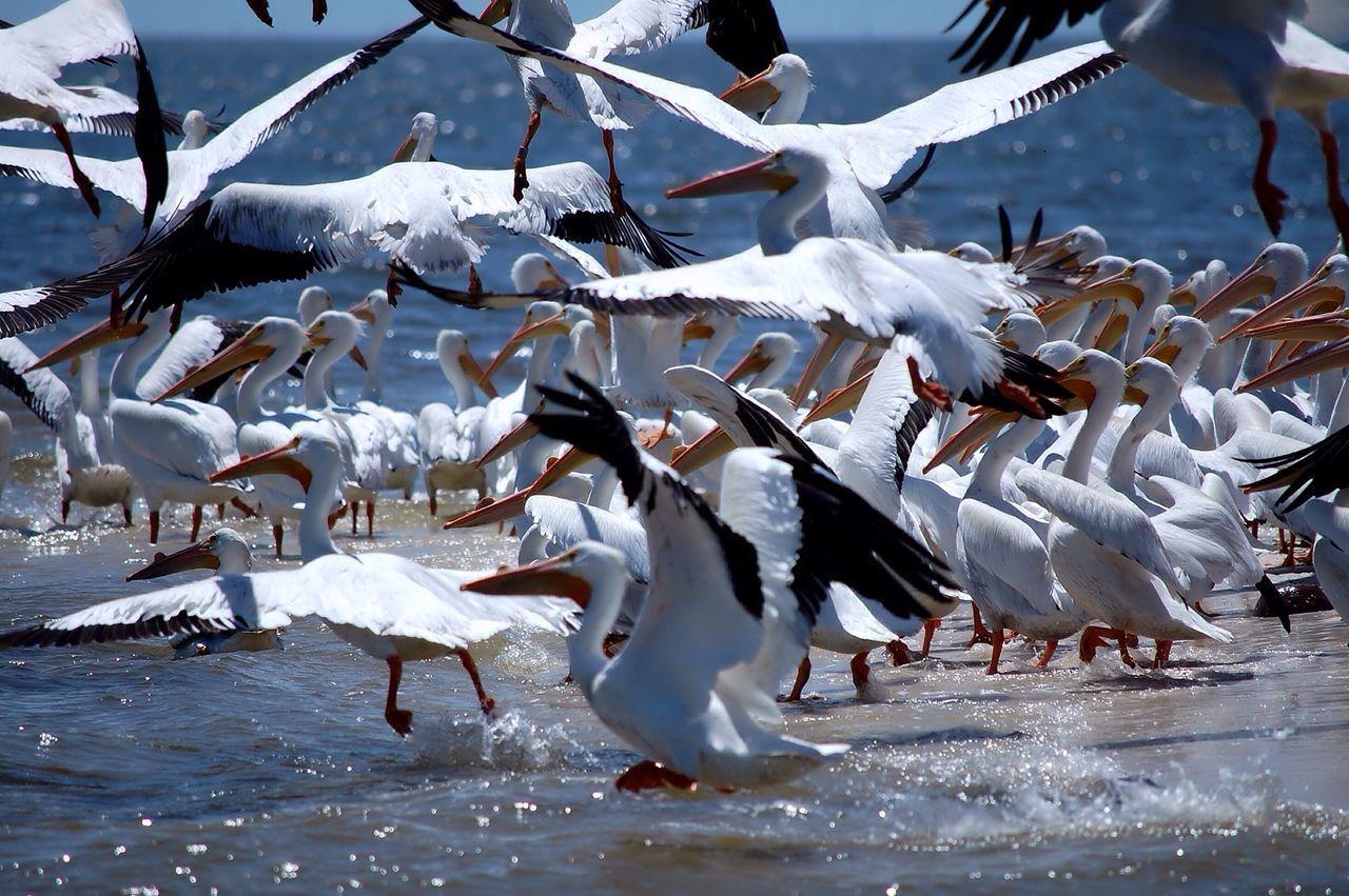 Pelicans Florida Birds Cedar Key Island Beach Albino Pelicans Flock Of Pelicans