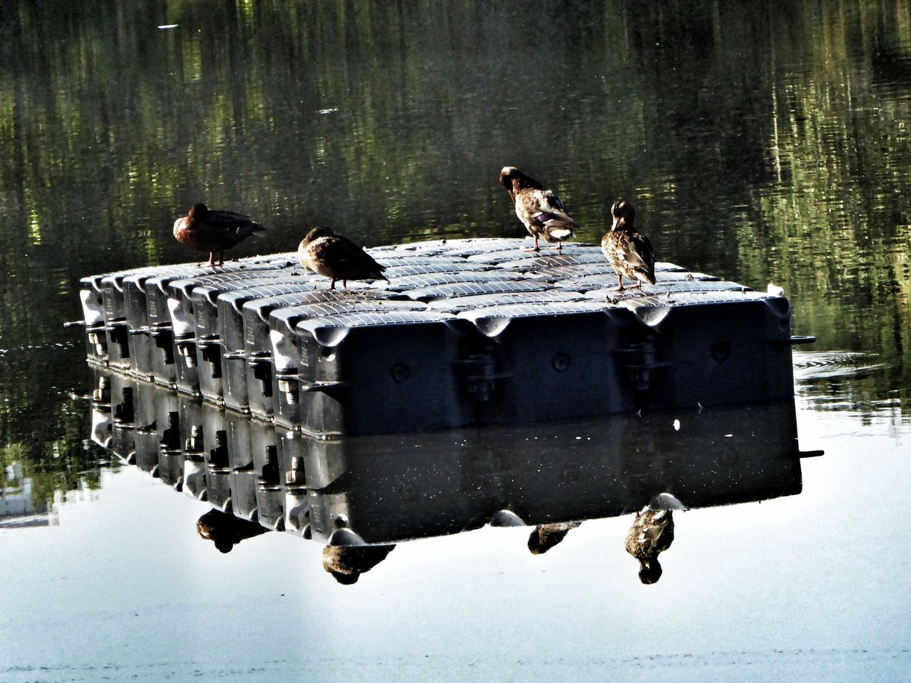 Ducks At The Lake Chillen Am See Reflection Tranquility Calm Enjoying The View Beauty In Nature Simple Beauty Autuum At The Lake Waterrefliction Reflection_collection Reflections In The Water Reflection Perfection