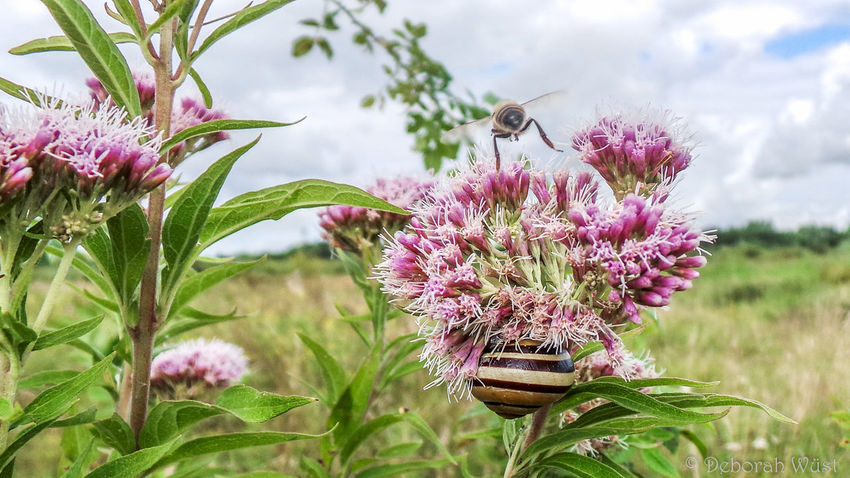 Beauty In Nature Botany Close-up Flower Flower Head Flying Focus On Foreground Fragility Freshness Growth Honey Bee In Bloom Insect Koninginnekruid One Animal Petal Pink Color Plant Queen's Herb Selective Focus Sky Snail Springtime Stem Striped Snail
