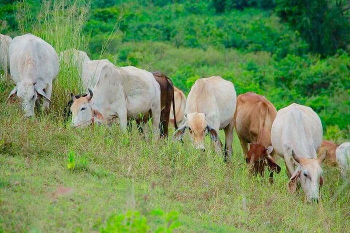 Domestic Animals Mammal Livestock