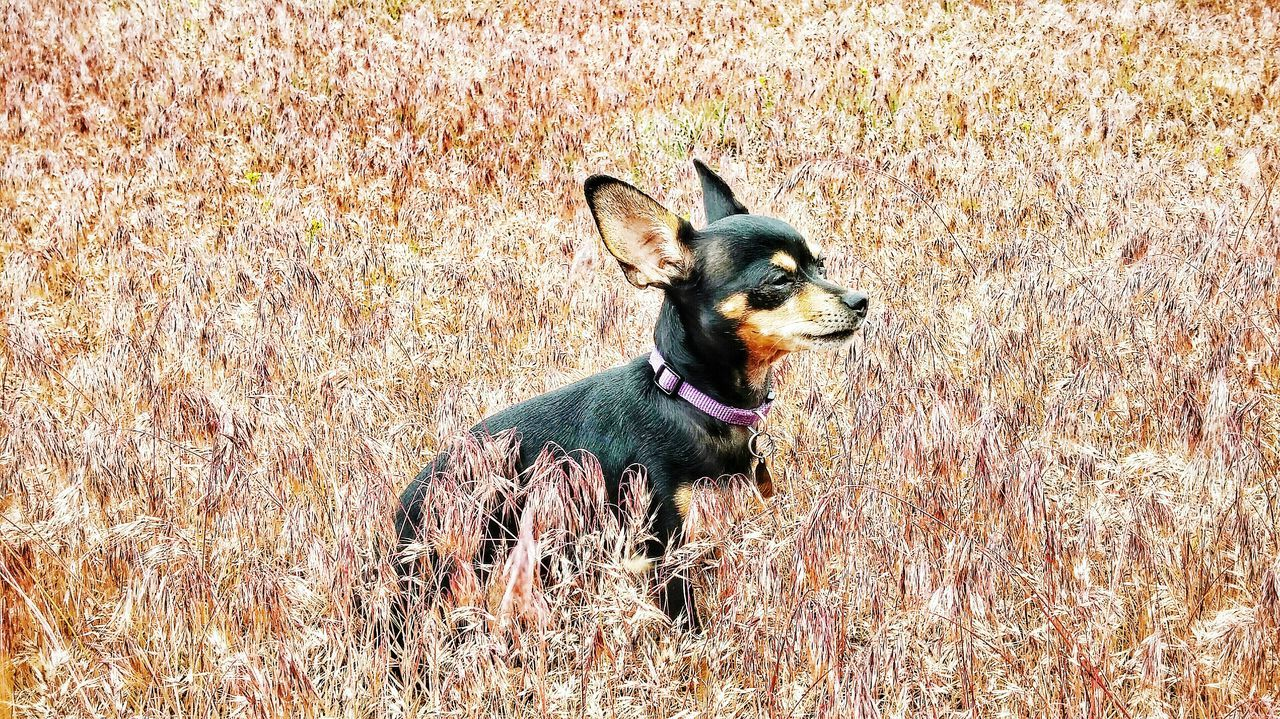Beautiful stock photos of chihuahua, Animal Themes, Black Color, Day, Dog