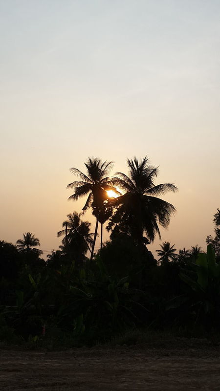 Evening backdrop of coconut trees. Beauty In Nature Cocoanut Growth Nature No People Outdoors Palm Tree Scenics Sky Tree
