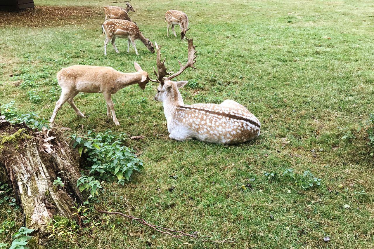 Deer Roe Deer Family Fighting Grass Field Wildlife Mammal Nature