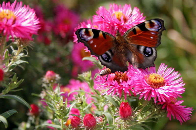 Animal Themes Animals In The Wild Beauty In Nature Butterfly Butterfly - Insect Canon Check This Out Close-up Flower Flower Head Fragility Hello World In Bloom Insect Nature Petal Pink Color