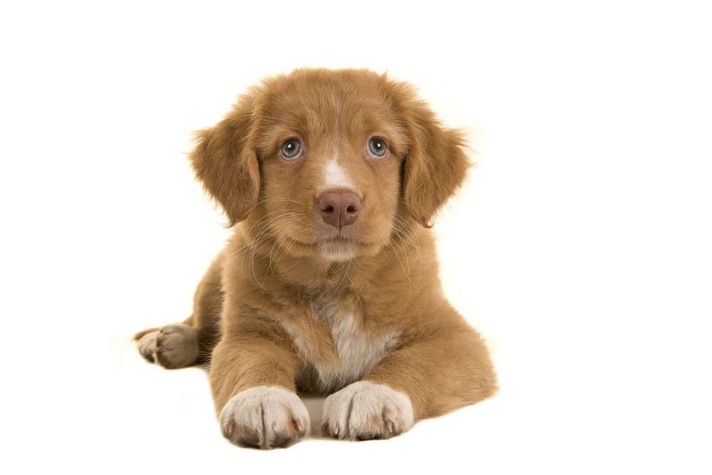 Cute nova scotia duck tolling retriever puppy lying on the floor seen from the front isolated on a white background Animal Dog Front View Lying Down Nova Scotia Duck Tolling Retriever Pet Pupppy Purebred Dog Retriever Studio White Background
