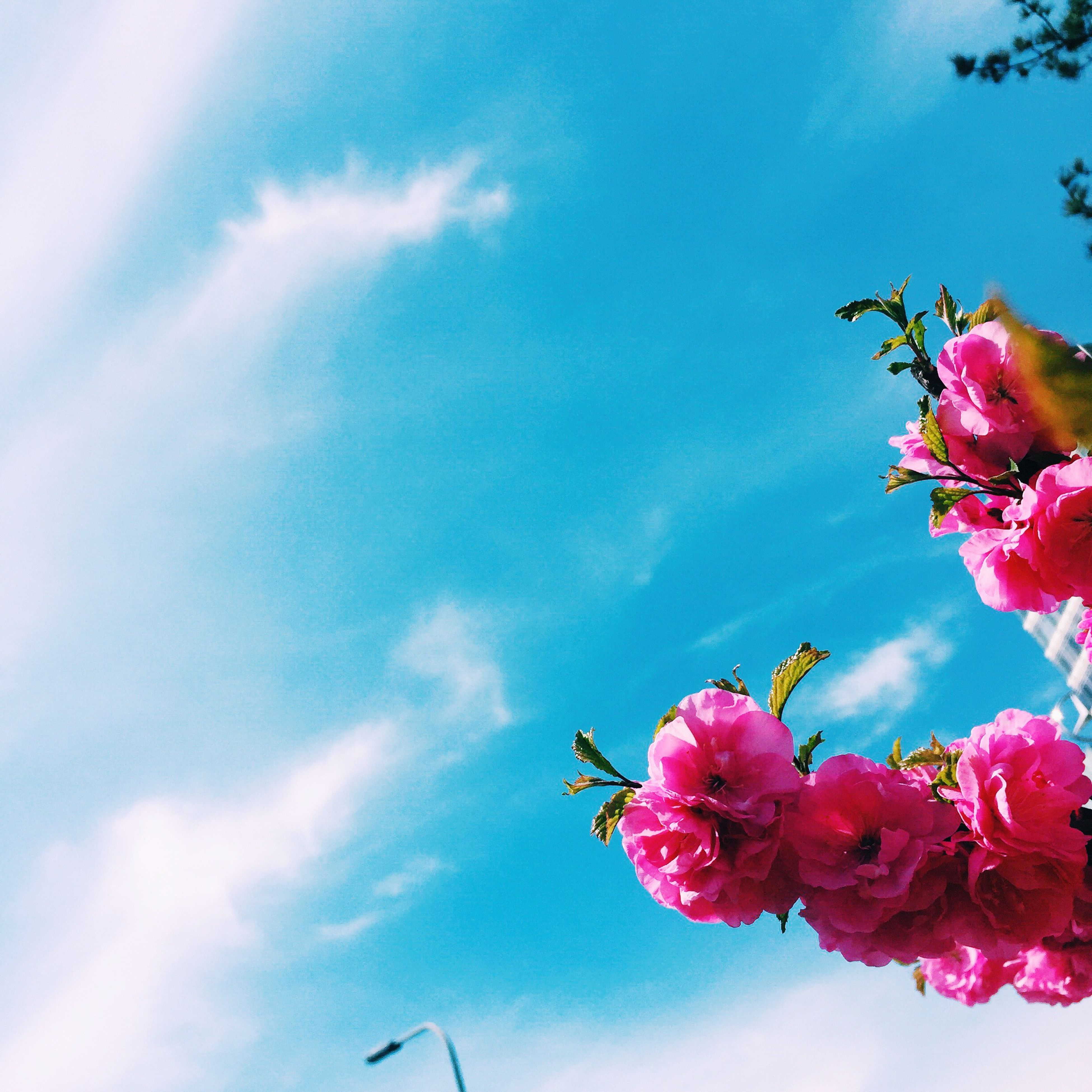 flower, low angle view, pink color, fragility, freshness, petal, sky, beauty in nature, nature, growth, flower head, blooming, cloud - sky, day, in bloom, pink, close-up, outdoors, blossom, sunlight