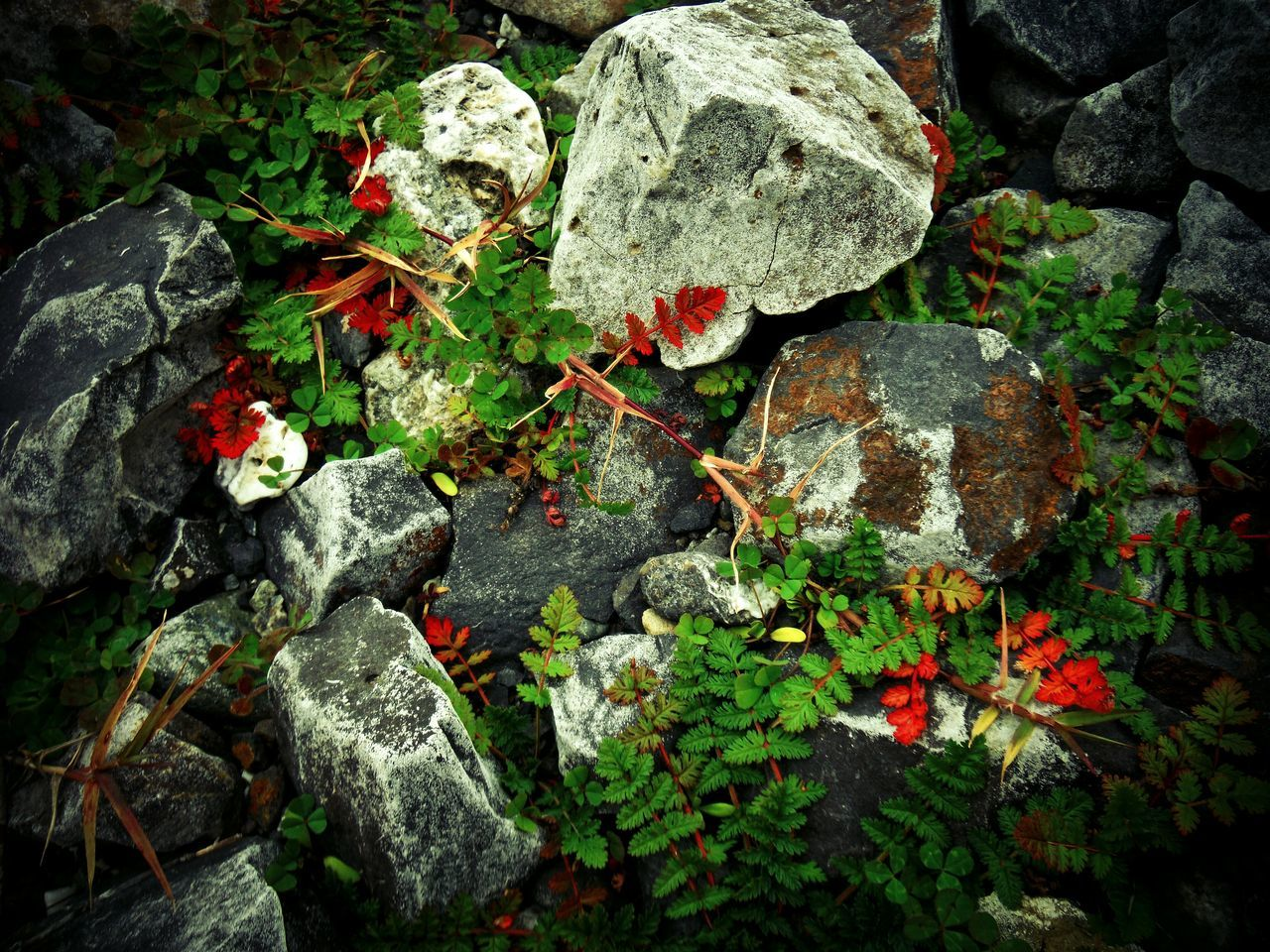 Red And Green Leaves Fall Decor Autumn Decor Decorative Fall Leaves Fall Colors Fall Beauty Autumn Leaves Autumn Colors Autumn Leaves Arrangement Rock And Plant Black Butte Black Butte California Decoration Leaves And Rocks Leaves And Stones Stones And Leaves Vignette High Angle View Outdoors Pretty Leaves Nature Leaf