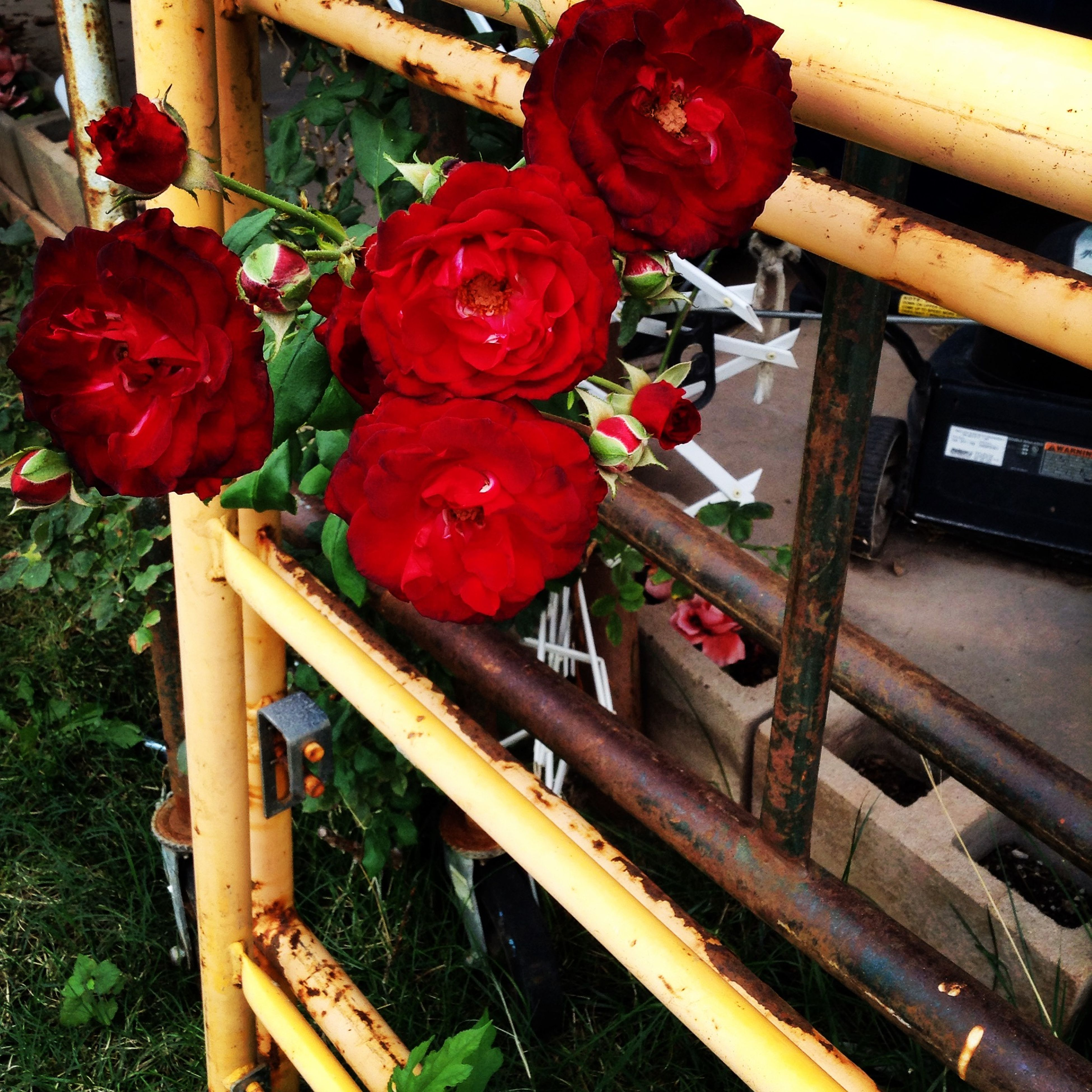 red, wood - material, freshness, flower, wooden, close-up, day, no people, high angle view, wood, indoors, plant, growth, still life, metal, railing, petal, table, nature