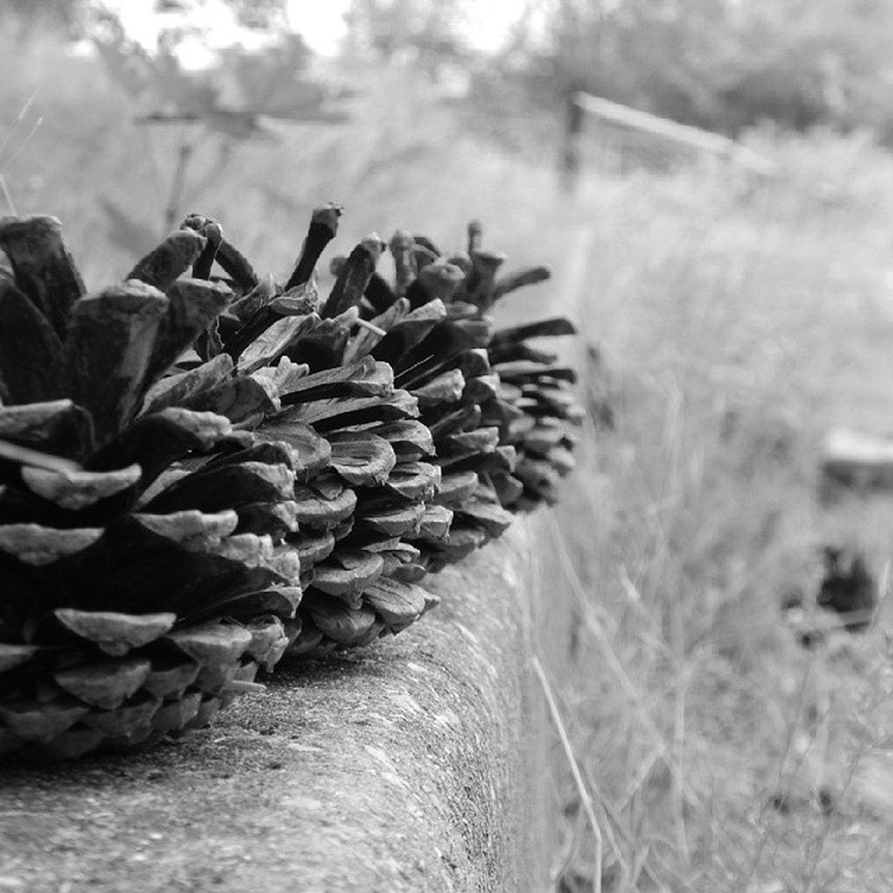 Целый урожай шишек))) Лес Природа урожай ШИШКИ Николаев Nikolaevgram Nikolaev девочкитакиедевочки