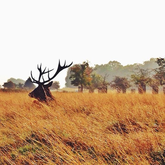 In #Richmond #park ??? #red_deer #autumn ???#london #royalpark Richmond Autumn London Park Autumn_masters Red_deer Royalpark