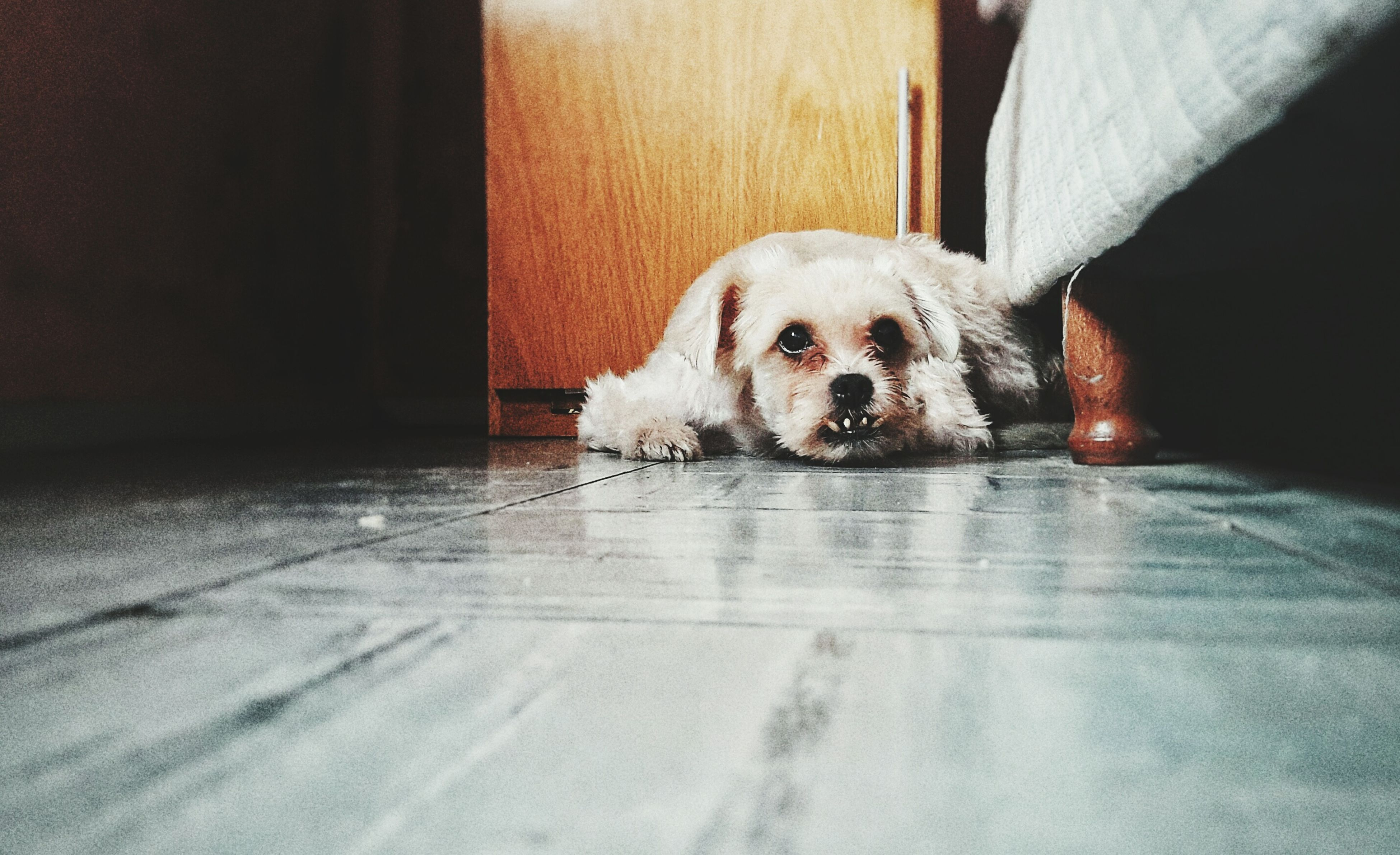 one animal, mammal, animal themes, domestic animals, pets, dog, looking at camera, portrait, no people, close-up, indoors, day