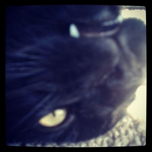 Catsofinstagram Lazycatdaze Bagheerah Babykiikatz possessedcats blackcats familiar babyboy babypanther vicious