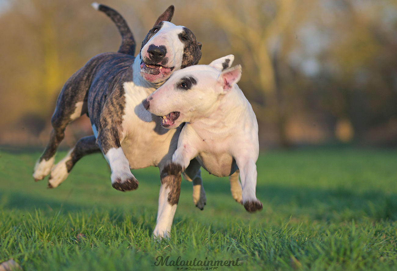 Dog Pets Domestic Animals Dog Photography Hundefotografie Hund Celle Celle, Niedersachsen Bullterrier Playing Hunde Dogs Outdoors Day No People Nature Animal Themes The Great Outdoors - 2017 EyeEm Awards