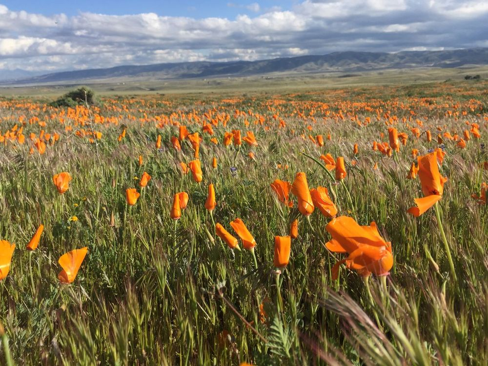 Gorgeous poppies at Antelope Valley California Poppy Reserve Beauty In Nature Blossom Close-up Cloud - Sky Day EyeEm Best Shots - Nature EyeEm Nature Lover Field Flower Flower Head Flowerbed Fragility Freshness Grass Growth Landscape Nature No People Outdoors Plant Poppy Scenics Sky Summer Wildflower
