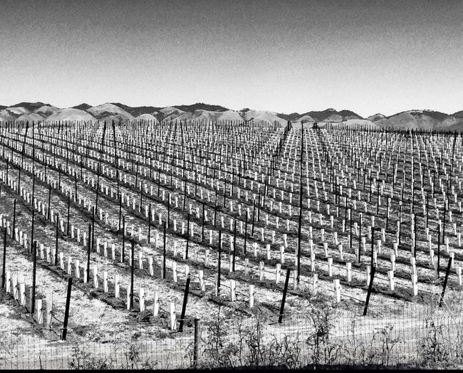 Blackandwhite Vineyard Preparation New Vines Repeat Repeat