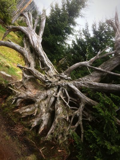 Dread monster. Trees Dead Tree Forest Mountains Uprooted