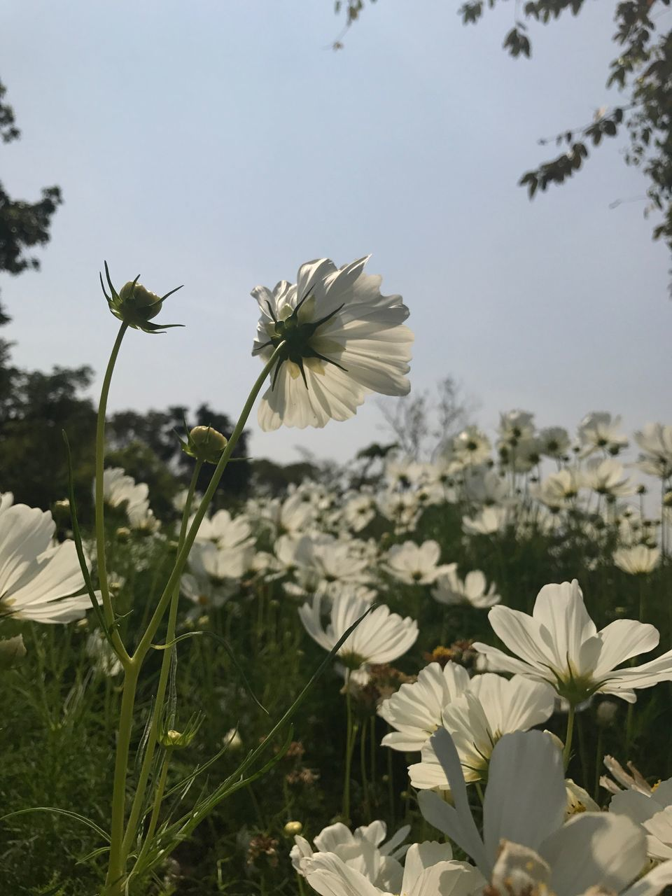 flower, fragility, beauty in nature, nature, growth, petal, freshness, white color, flower head, plant, no people, blooming, day, outdoors, close-up