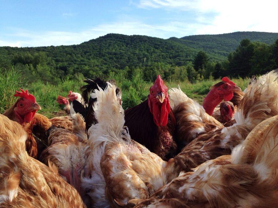 Farm Creatures Chickens Farm Life