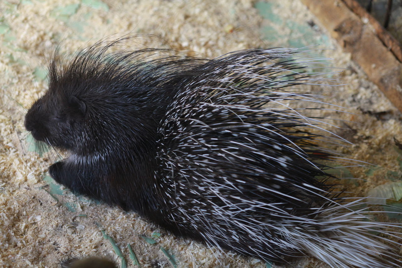 Animal Themes Animal Wildlife Animals In The Wild Close-up Day Mammal No People One Animal Outdoors Porcupine Zoo Zoo Animals  Zoophotography