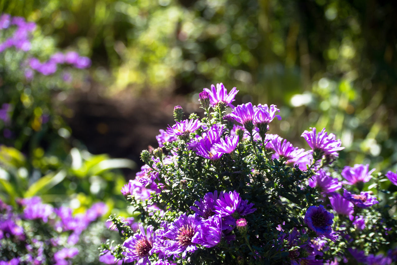 flower, nature, beauty in nature, fragility, growth, day, purple, outdoors, freshness, no people, plant, pink color, focus on foreground, petal, sunlight, blooming, tree, flower head, close-up