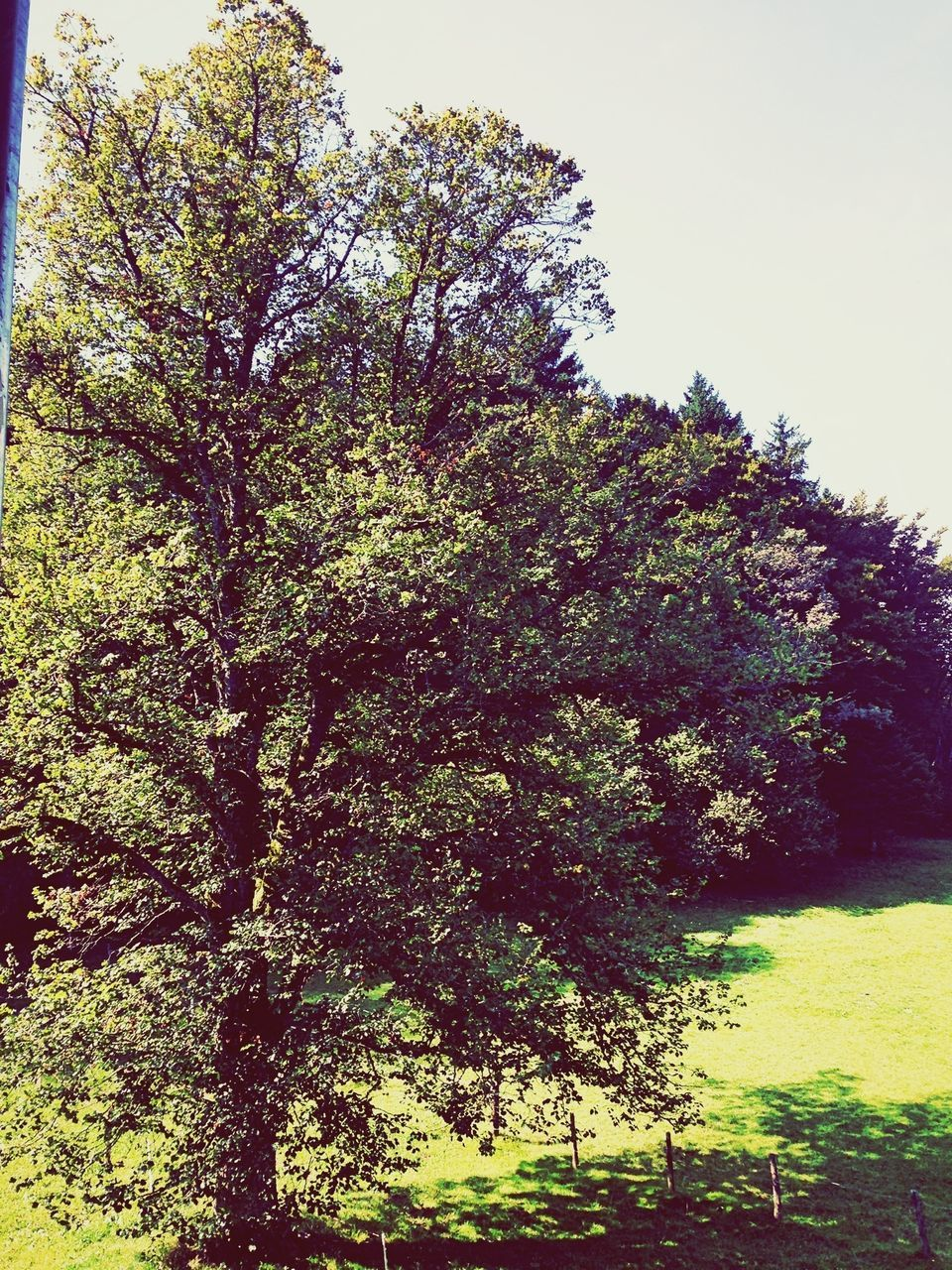 tree, nature, growth, tranquility, no people, day, outdoors, beauty in nature, clear sky, sky