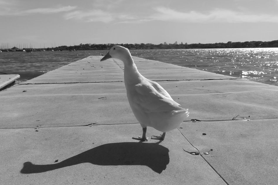 Animal Themes Animals In The Wild Bird Cloud - Sky Day Duck Flying Full Length Nature One Animal Outdoors Railing Sea Seagull Shadow Shopping Side View Sky Spread Wings Sunlight Water White Rock Lake Wildlife
