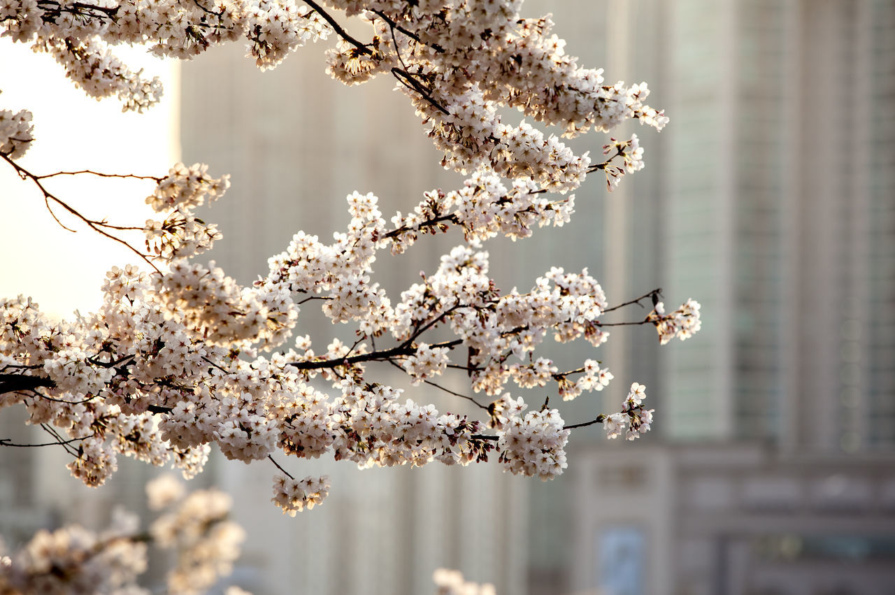 Anyangcheon Apple Blossom Apple Tree Beauty In Nature Blossom Branch Cherry Blossom Cherry Tree Close-up Flower Focus On Foreground Fragility Freshness Fruit Tree Growth MokDong Nature Petal Springtime Tree Twig White Color