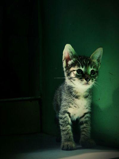 Pets Green Curiosity Darkness And Light Neogreen Cat Portrait Cats Kitten Shocked Face Shocked