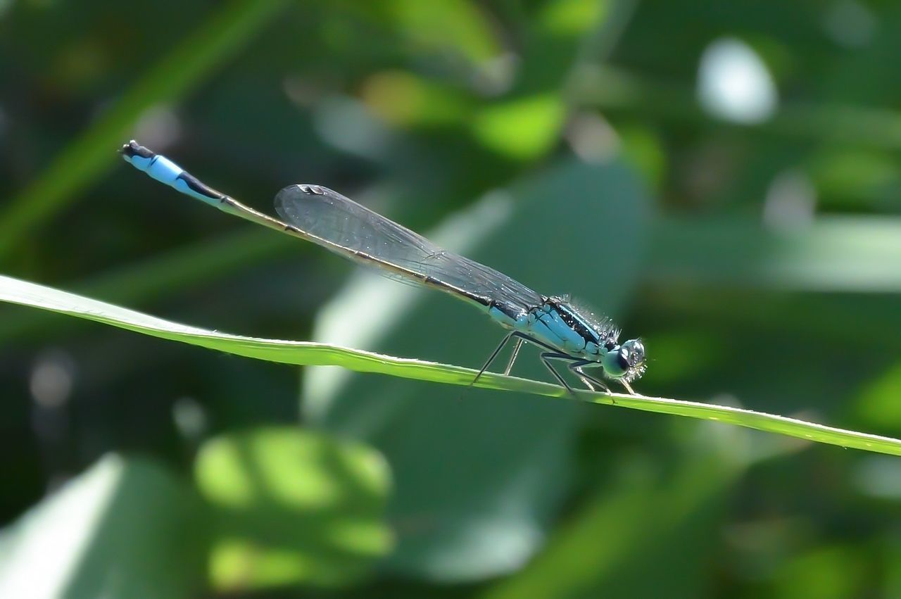 Animal Themes Animals In The Wild Beauty In Nature Close-up Damselfly Day Fragile Beauty Green Color Insect Leaf Libelle Light Blue Nature No People One Animal Outdoors Plant