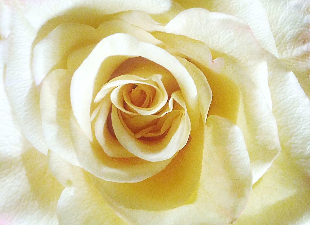 yellow rose... Roses Rose - Flower Yellow Yellow Flower Yellow Rose Flower