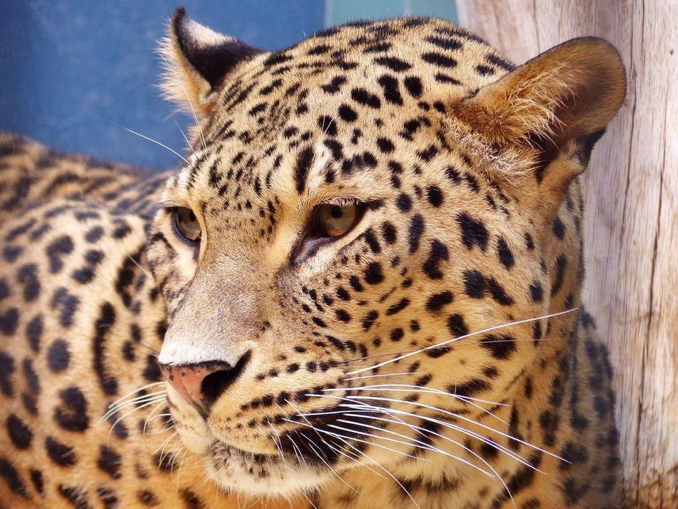 Beautiful stock photos of leopard, Adult Animal, Animal, Animal Face, Animal Themes