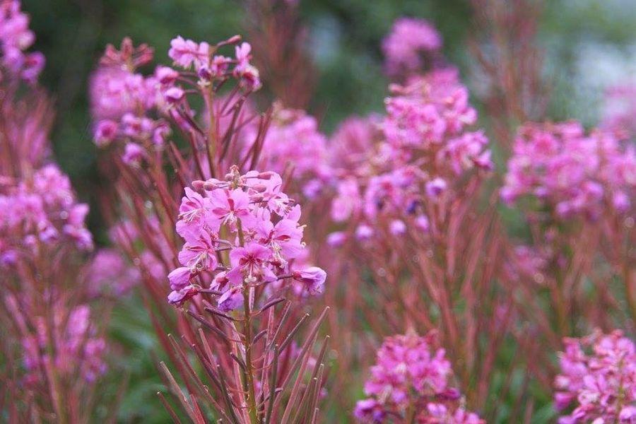 Alaska Edible  Flowers Fireweed God's Beauty EyeEm Nature Lover Brilliant Colour