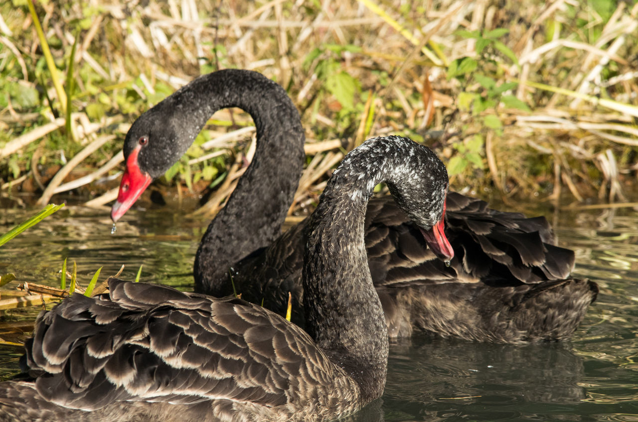 Couple of Black Swans in Marlow Bird's Park Animal Animal Head  Animal Themes Avian Beak Beauty In Nature Bird Black Color Black Swans Close-up Couple Day Focus On Foreground Grass Mallard Duck Nature No People Outdoors Selective Focus Wildlife Two Is Better Than One