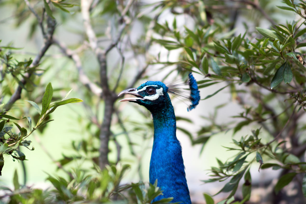 Beautiful stock photos of peacock, Animal Head, Animal Themes, Beauty In Nature, Blue