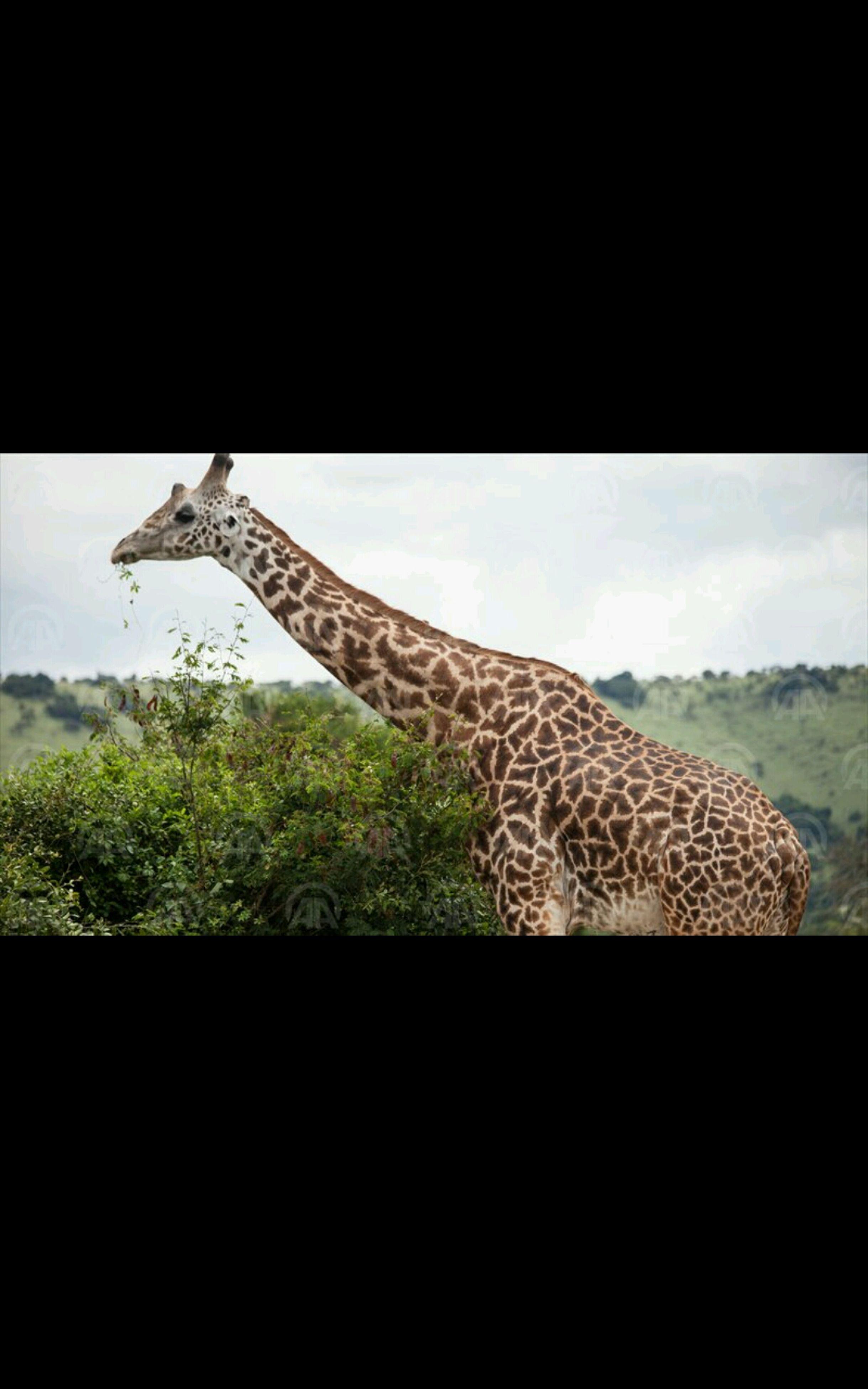 one animal, giraffe, animal themes, mammal, animals in the wild, sky, safari animals, tree, day, no people, nature, cloud - sky, outdoors, animal markings, leopard, close-up