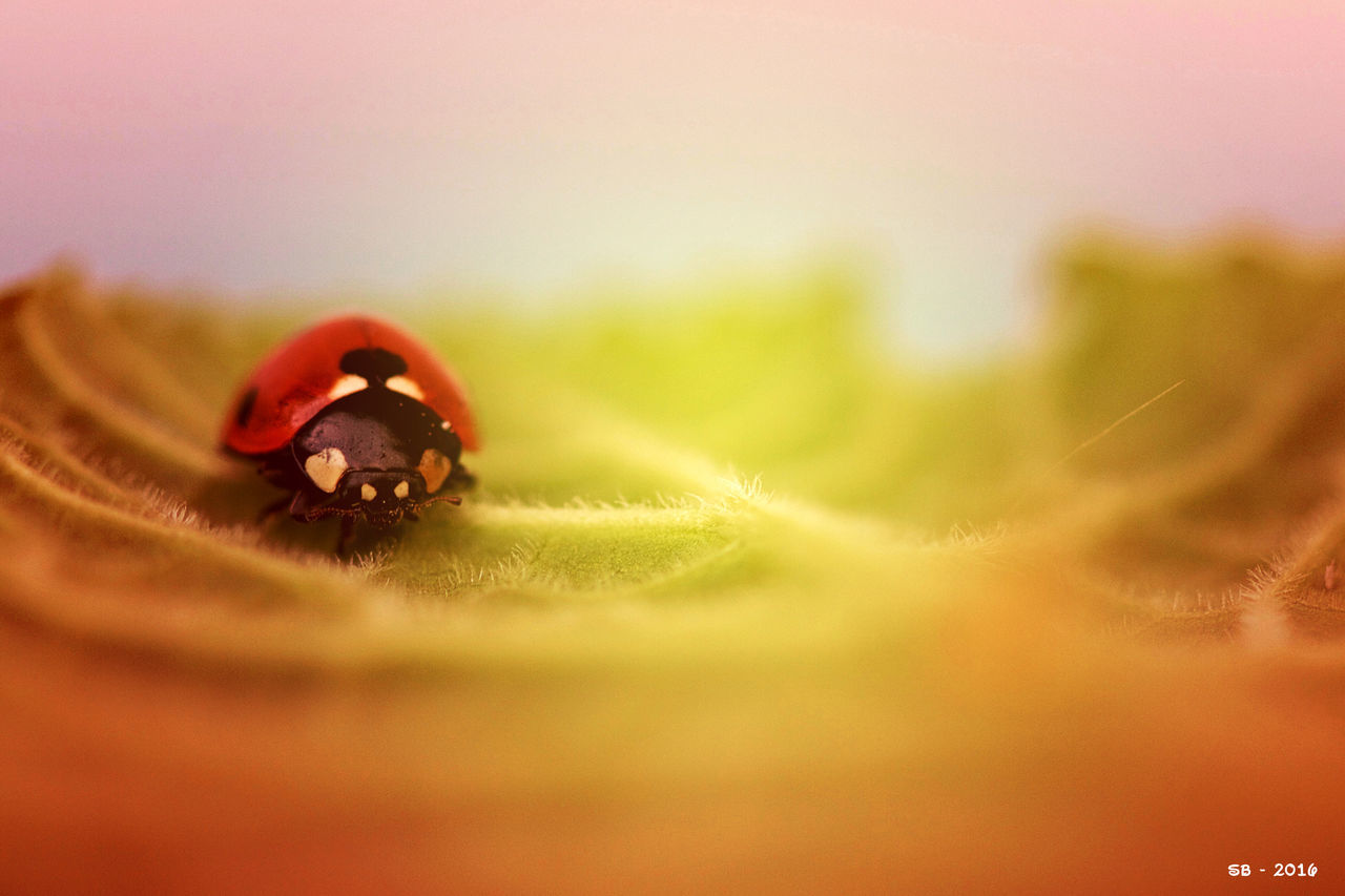 Animal Head  Animal Themes Beauty In Nature Coccinella Coccinelle Coccinelle🐞 Fragility Insect Insect Photography Ladybug Nature Nature Photography One Animal Red Selective Focus