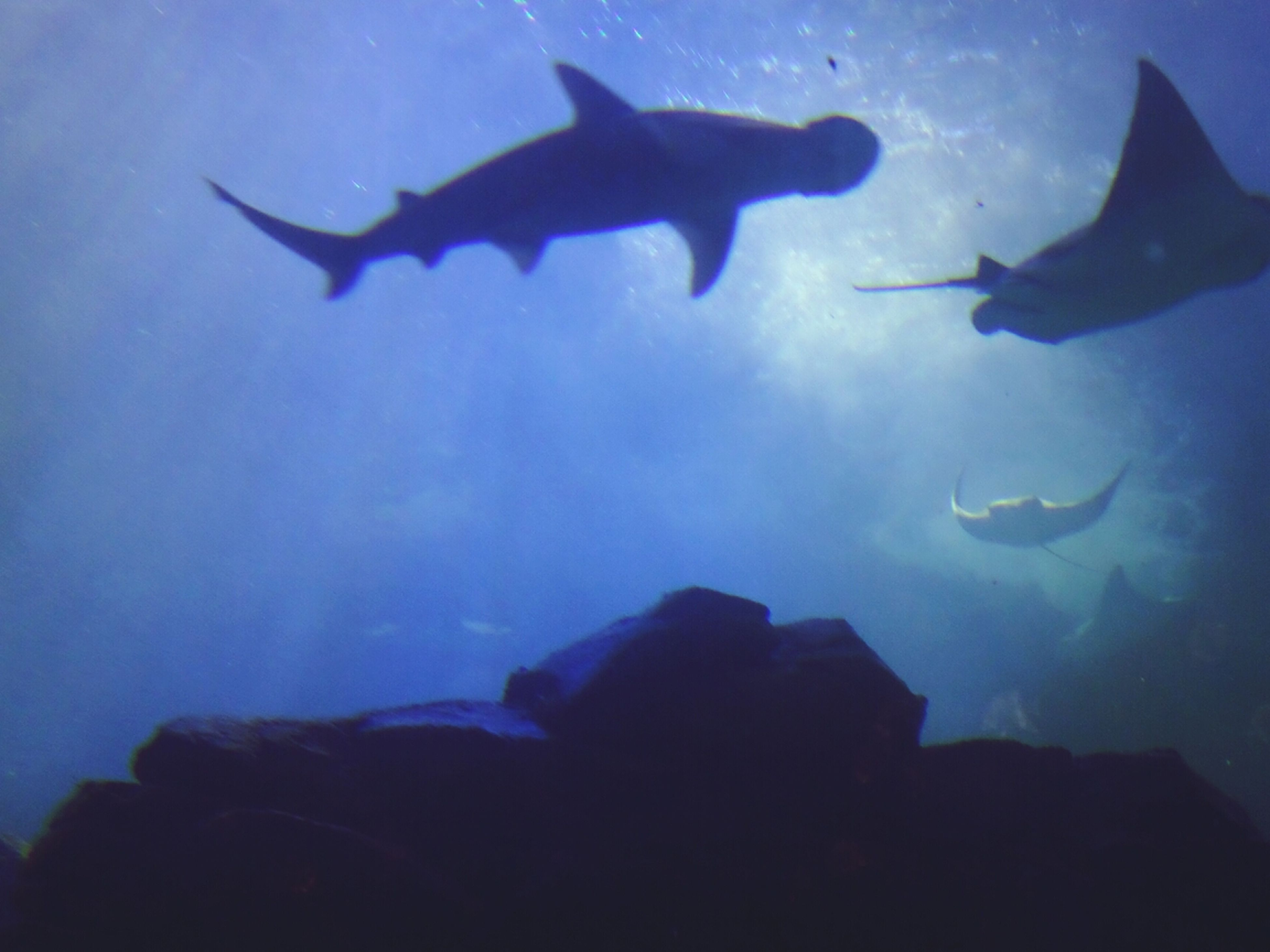 underwater, animal themes, blue, silhouette, swimming, flying, fish, wildlife, animals in the wild, sea life, undersea, low angle view, one animal, sea, unrecognizable person, aquarium, mid-air, nature, leisure activity