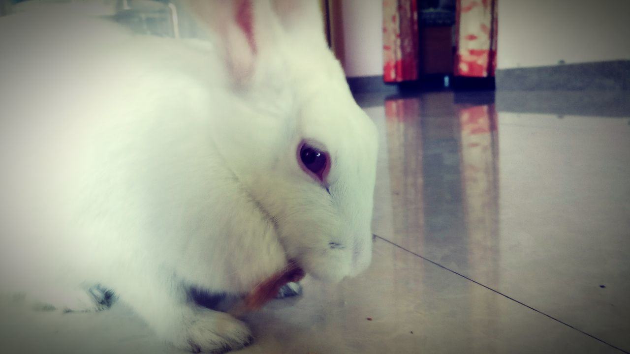 Rabbit 🐇 One Animal Domestic Room Rabbits 🐇 Rabbit ❤️ Rabbits Rabbit - Animal Rabbit♡ Rabbit Ears Rabbit Faces