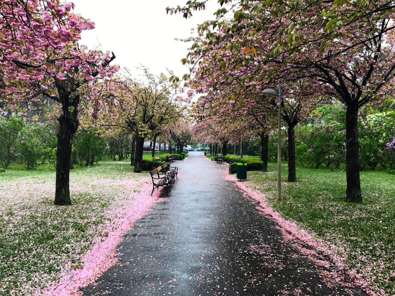 Tree Springtime Flower Blossom Nature Pink Color Beauty In Nature Park - Man Made Space Growth Outdoors Branch Day No People Scenics Water Freshness Fragility Clear Sky Sky