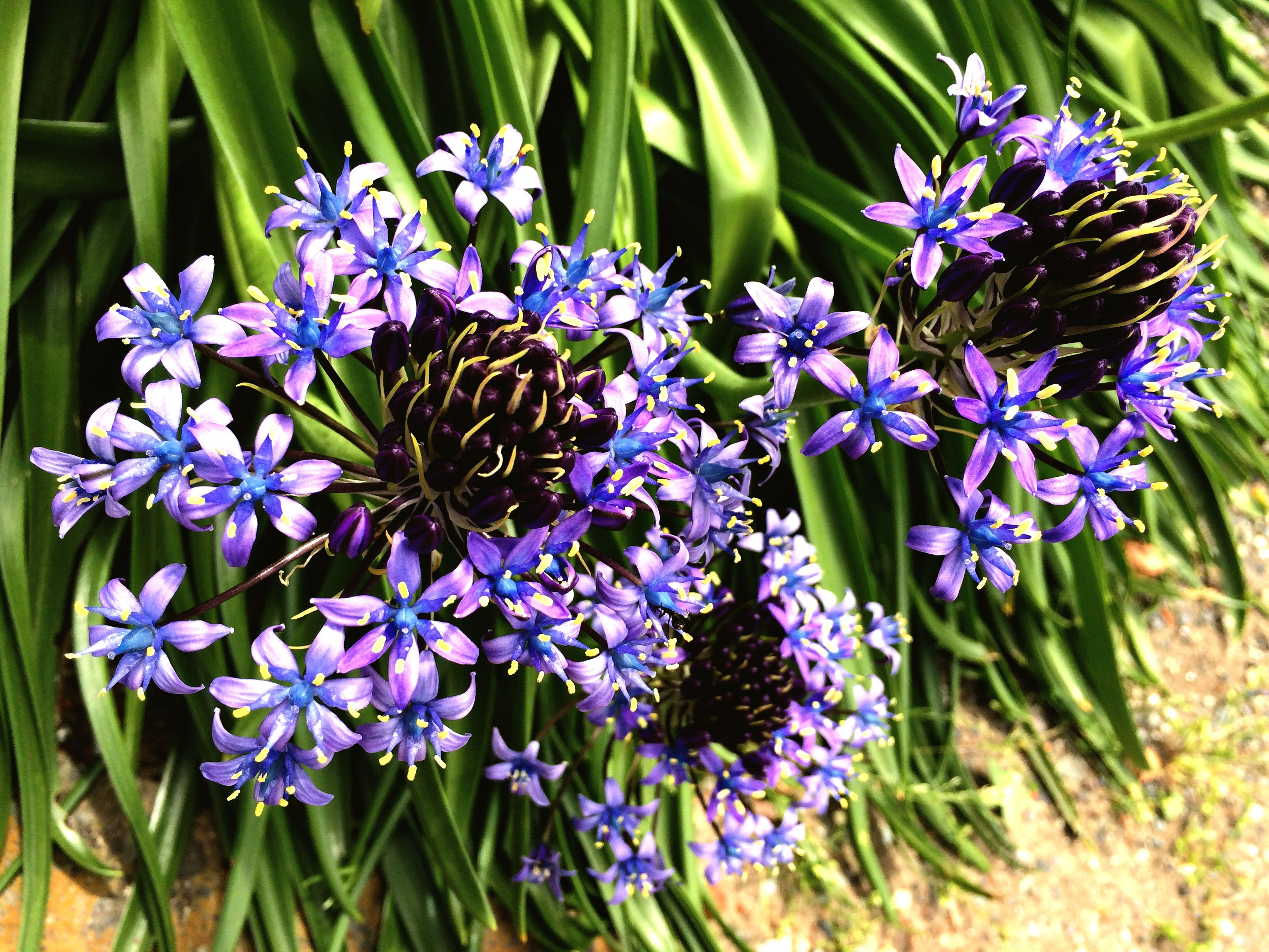 flower, purple, freshness, growth, plant, fragility, petal, beauty in nature, nature, blooming, close-up, flower head, blue, leaf, high angle view, focus on foreground, green color, field, outdoors, day