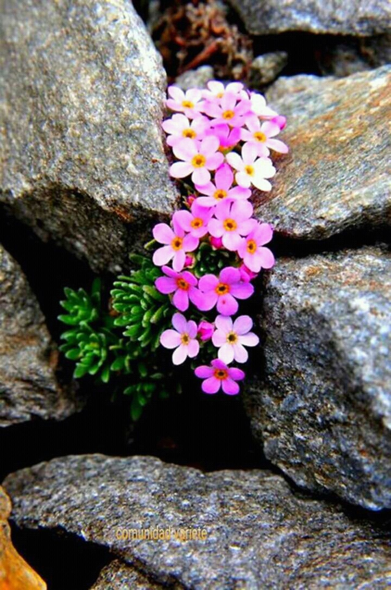 Flowers In The Rocks Flowers Love The Nature Hi! Eye4photography Shapshots Of Life Mood Capyures Great Atmosphere The Moment - 2015 EyeEm Awards Gold Series @txemabuenodaz Eye4photography  Hello World Hanging OutRelaxing