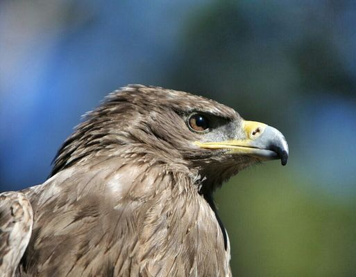 Tawny eagle by English