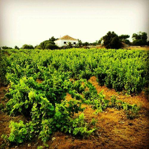 viñedos Algarve Ver ão Verano Summer arboles trees cultivos instagram instacanvas vidalgomezmartinez