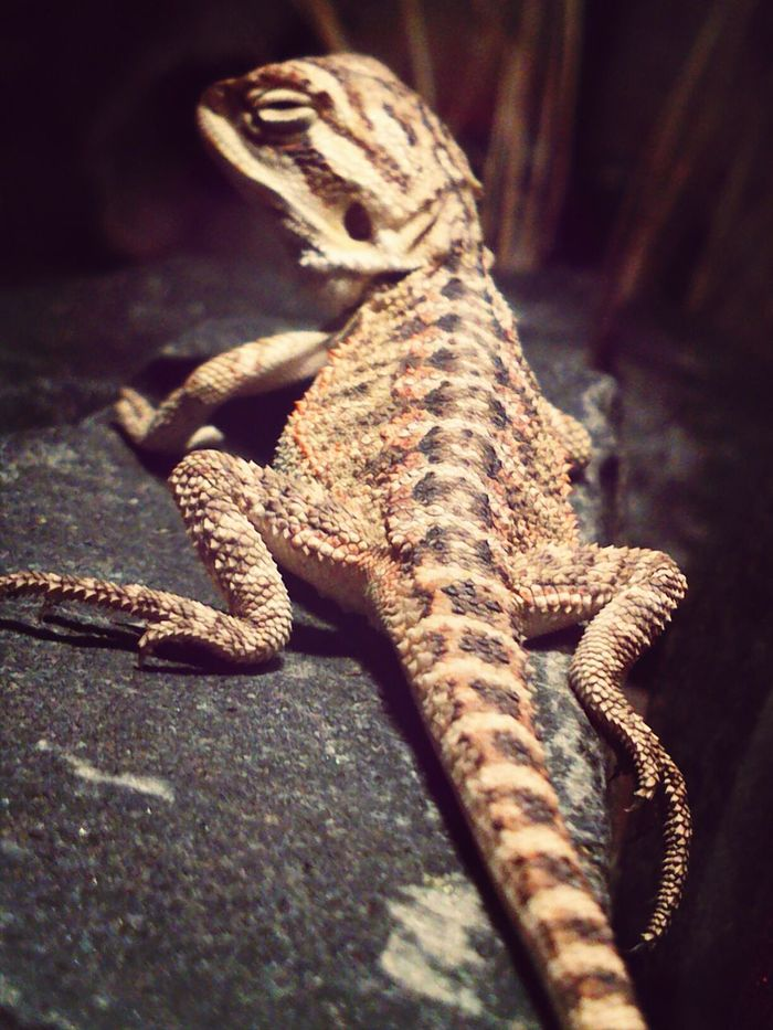 """1.0 Baby Pogona vitticeps """"sand fire"""" Egzotic Pets Reptails My Best Animals Photos Food P."""