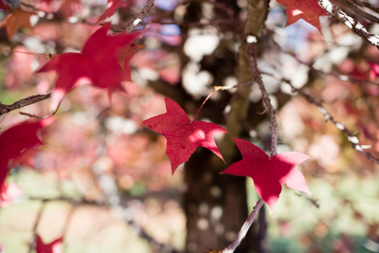 Autumn leaves moving in the breeze on a sunny day Autumn Beauty In Nature Branch Change Close-up Day Fragility Growth Leaf Maple Maple Leaf Maple Tree Nature No People Outdoors Red Tree