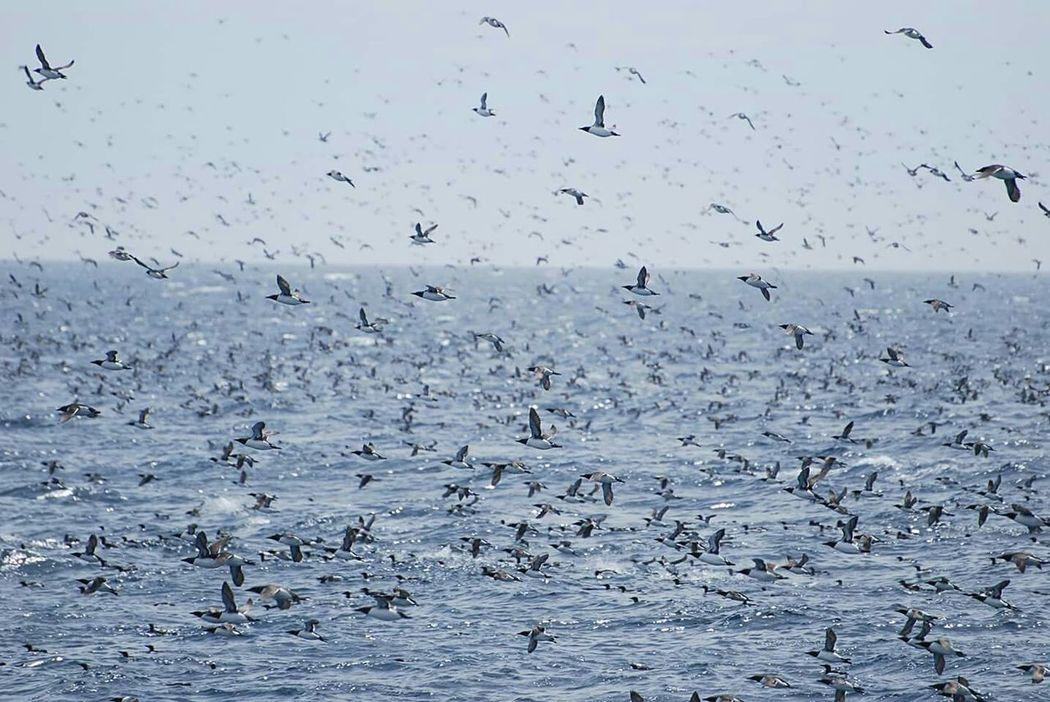 Newfoundland Witless Bay Common Murre Seabird Hundreds Of Birds Ocean Life Flock Of Sea Birds